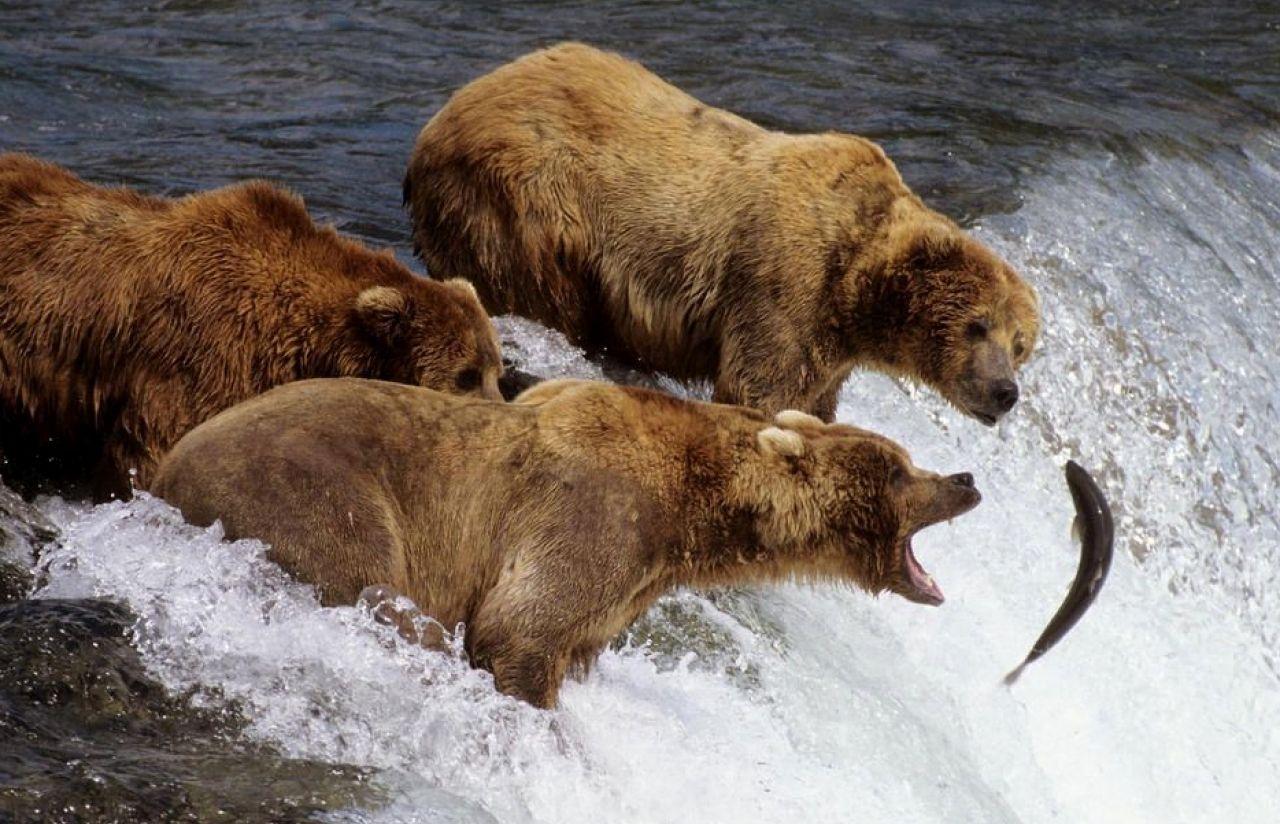 Медведи гризли, Аляска